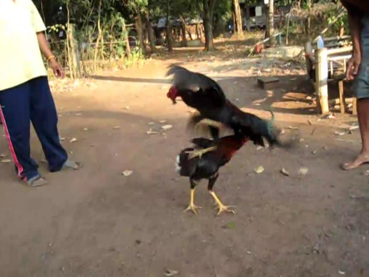 YouTube bans cockfighting video